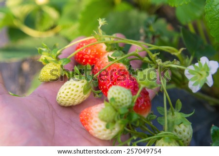 Strawberry on hand growing in agriculture farm. - stock photo