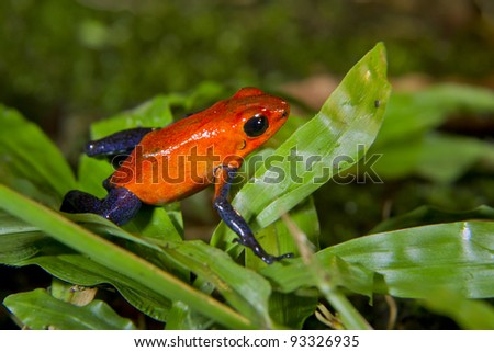 Strawberry or blue jeans poison dart frog (Oophaga pumilio, or Dendrobates pumilio) in Alajuela, Costa Rica. - stock photo