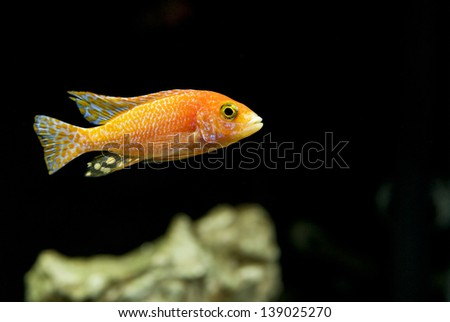 Strawberry Peacock Hybrid African Cichlid from Lake Malawi - stock photo