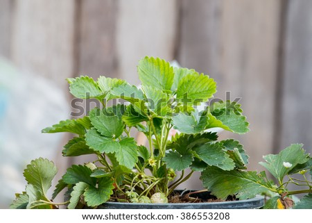 strawberry plant in a potted