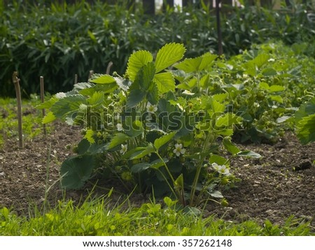 Strawberry plant in the organic garden in the small village farm with lot of white blooms and green unriped strawberries. With clean soil around the bush growing in the row in the spring. - stock photo