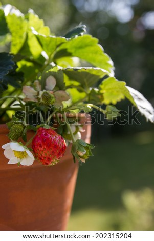 strawberry plant on the balcony - stock photo