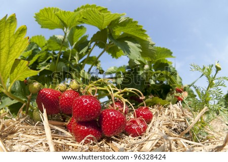 Strawberry plantation - stock photo