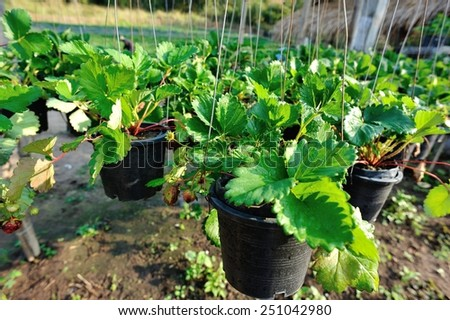 strawberry plants - stock photo