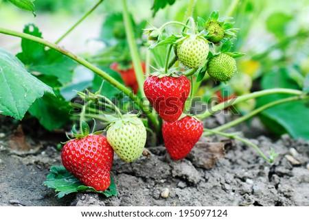 Strawberry plants already ripe to harvest - stock photo
