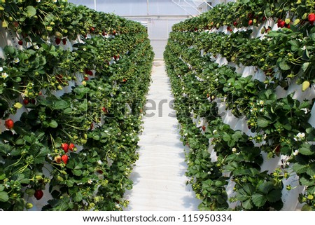 Strawberry plants filled with ripening fruit at a hydroponic farm plantation - stock photo