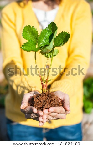 Strawberry plants held over the hands - stock photo