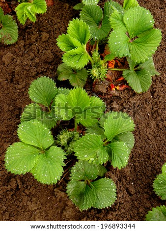 strawberry plants ready to bloom after rain - stock photo