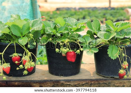 strawberry plants with its fruit in flowerpot in farm agriculture business concept