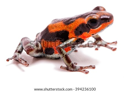 Strawberry poison dart frog from tropical rain forest in Panama, Bocas del Toro Red frog beach. A beautifyl small rainforest animal, Oophaga pumilio. Isolated on white. - stock photo