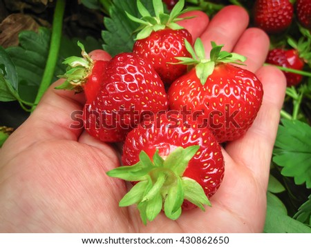 Strawberry red a few pieces in the hand . - stock photo