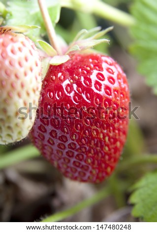 strawberry red field plant green - stock photo
