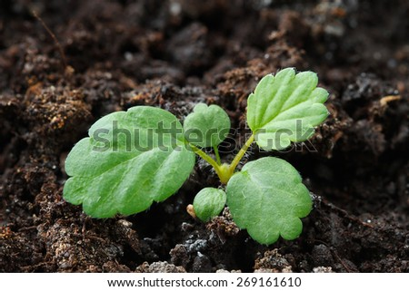 Strawberry seedling with two cotyledons and three true leaves