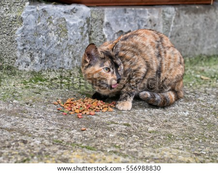 Stray cat, kitten eating cat biscuits, food. Wary! Licking lips.