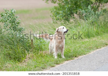 straying golden retriever dog on the wayside - stock photo