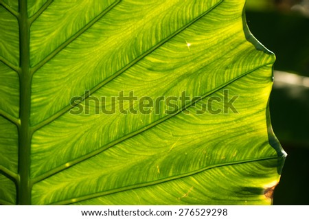 Streaks of green leaf of tropical tree, close up - stock photo