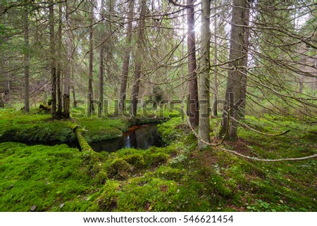Stream in a dense spruce forest. Autumn landscape