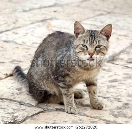 Street cat shows tongue - stock photo