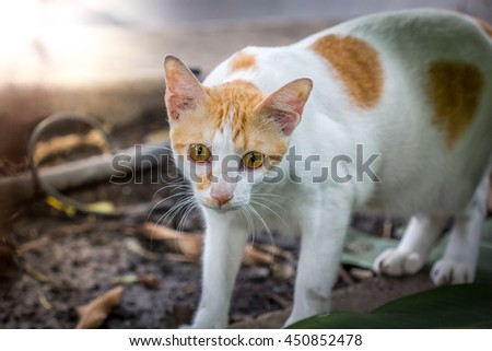 street cat white and orange color cat with the light in afternoon in Thailand