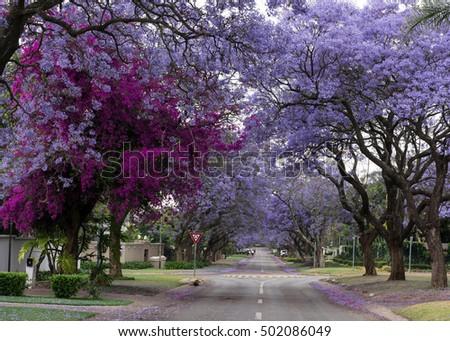 Street Lined Jacaranda Trees Tree Invaded Stock Photo Royalty Free