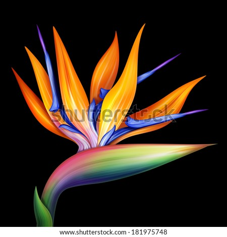 strelitzia bird of paradise exotic flower, botanical illustration isolated on black - stock photo