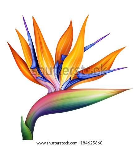 strelitzia, bird of paradise flower isolated on white background, botanical illustration - stock photo