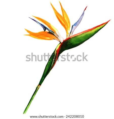 strelitzia, bird of paradise flower isolated, watercolor painting on white background - stock photo