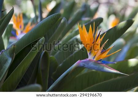 Strelitzia Reginae, a bird of paradise - stock photo