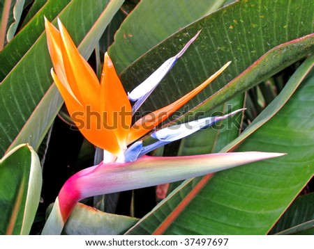 Strelitzia Reginae, a bird of paradise - stock photo