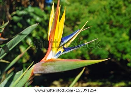 Strelizia flower in Kirstenbosch botanical gardens  - stock photo