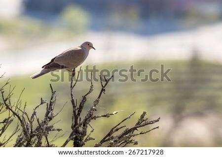 Streptopelia Bird in a Morning Light - stock photo
