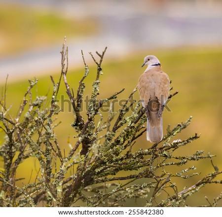 Streptopelia Bird in a Rainy Day - stock photo