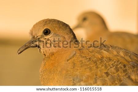 Streptopelia senegalensis - The laughing dove - stock photo