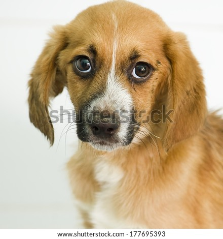 Stressed mixed-breed puppy