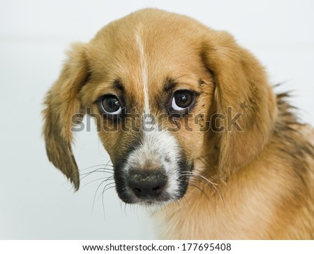 Stressed mixed-breed puppy  - stock photo