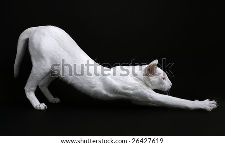 Stretching Foreign White cat