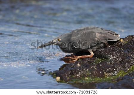 Striated Heron (Butorides striata sundevalli), Galapagos subspecies, also known as the Galapagos or Lava Heron (Butorides sundevalli), juvenile in molt to adult plumage on Santiago Island, Galapagos. - stock photo