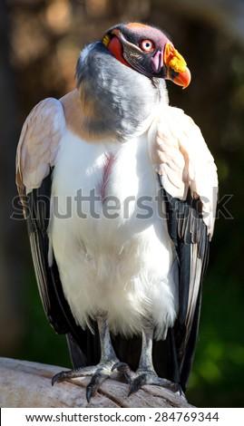Striking King Vulture bird with large orange beak - stock photo