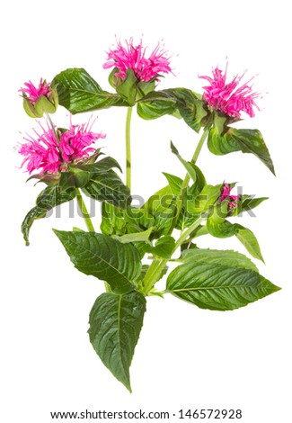 Striking pink flowers of the Crimson Beebalm, or Monarda didyma, used as a medicinal herb and antiseptic and one of the ingredients of mouthwash - stock photo