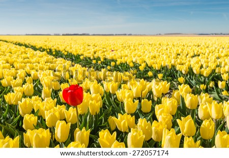 Striking red flowering tulip differs greatly from the many yellow blooming tulips in the large field of a Dutch bulb grower. - stock photo