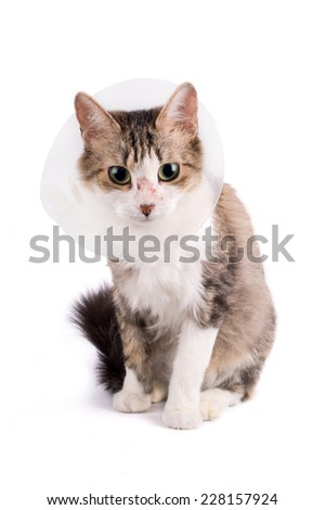 Striped adult cat wearing a plastic cone collar to protect it from scratching the wound isolated on a white background