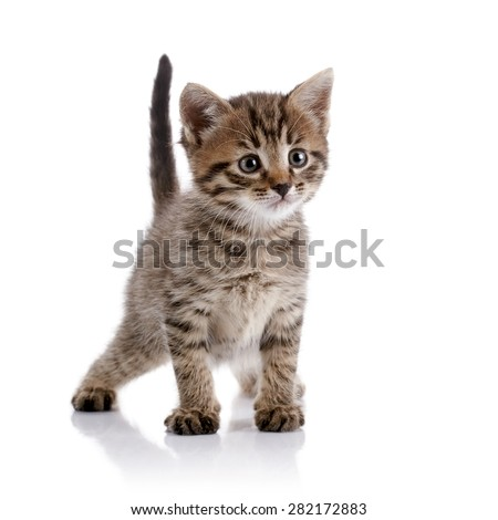 Striped amusing domestic kitten on a white background.