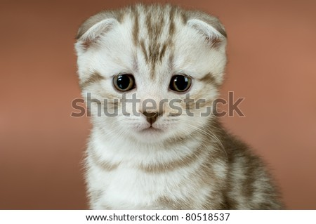 striped  beautiful kitten, breed scottish-fold,   close up snout  on brown  background, look stare on camera - stock photo