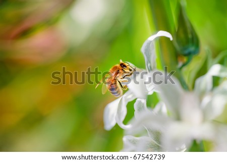 striped bee gathers honey from white flowers - stock photo