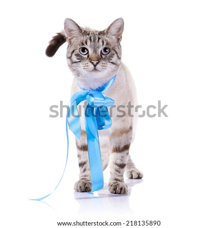 Striped blue-eyed cat with a blue tape. Cat with a bow. Portrait of a striped blue-eyed cat. Striped cat. Striped not purebred kitten. Small predator. Small cat. - stock photo