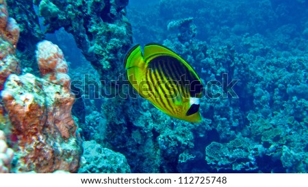Striped butterflyfish in the Red sea