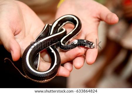 Snake striped king