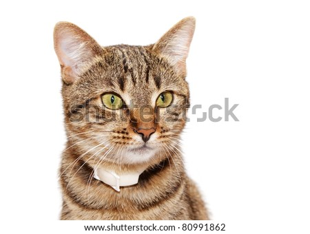 Striped cat in a collar looks  on a white background - stock photo