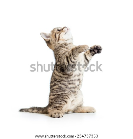Striped cat kitten looking up. Studio shot. - stock photo