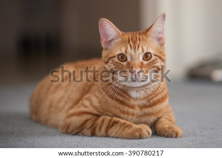 Striped cat reclined with legs tucks while looking forward.